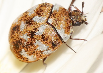 carpet beetle.jpg